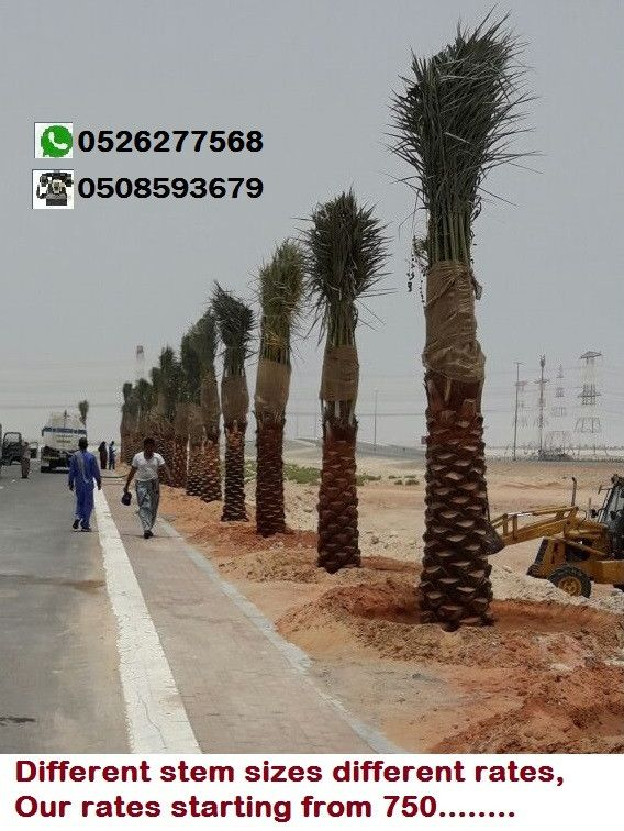 Date palm trees for sale along with planting services in Dubai