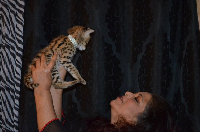 Outstanding Playful and Sociable African Serval Kitties