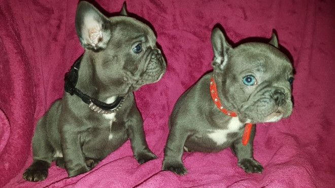 Solid Pure Breed French Bulldog Puppies For Sale