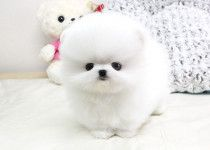 Teacup male and female Mini Pomeranian Puppies For Sale